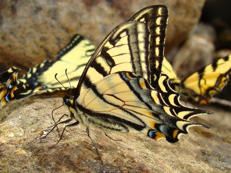 machaon: Swallowtail butterfly (papilio machaon) Stock Photo