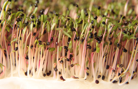 Red amaranth seeds begin to sprout