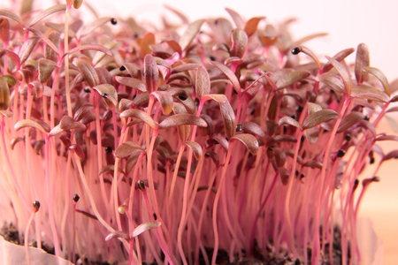 Red amaranth microgreens grown indoors in soil.