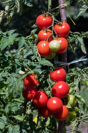 Tomatos growing on a bush in the garden Stock Photo