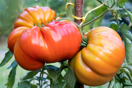 Zapotec pleated heirloom tomatoes growing on a bush in the garden