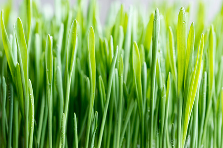 Primer plano de la hierba de cebada verde joven, enfoque selectivo