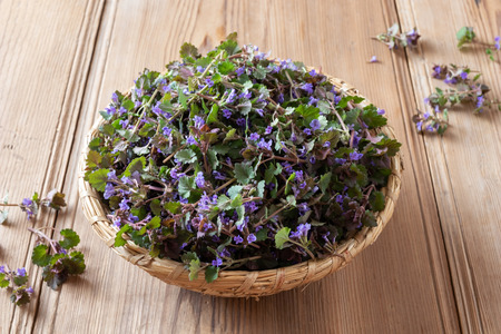 Fresh blooming ground-ivy in a basket Banco de Imagens - 122802960