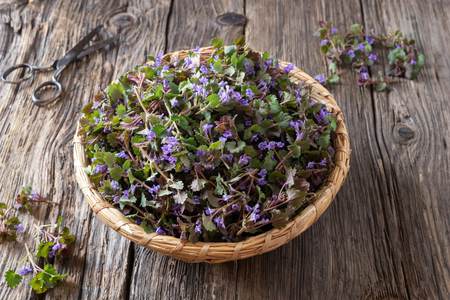 Fresh blooming ground-ivy in a basket