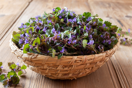 Fresh blooming ground-ivy twigs in a basket