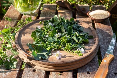 Cutting up fresh Malva neglecta plant to prepare mallow syrup against cough, outdoors