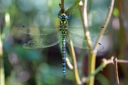 Southern hawker, or Aeshna cyanea dragonfly in nature Stok Fotoğraf