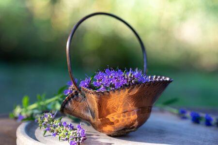 Fresh blooming hyssop plant in a metal basket, outdoors Stok Fotoğraf