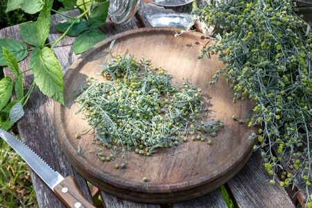 Cutting up blooming wormwood, or Artemisia Absinthium plant, to prepare herbal tincture