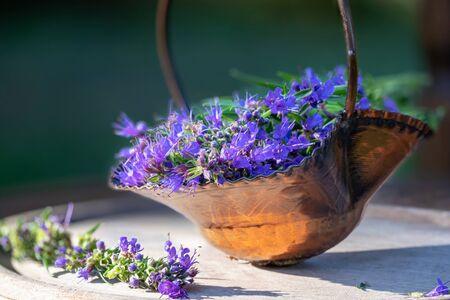 Fresh hyssop flowers in a basket