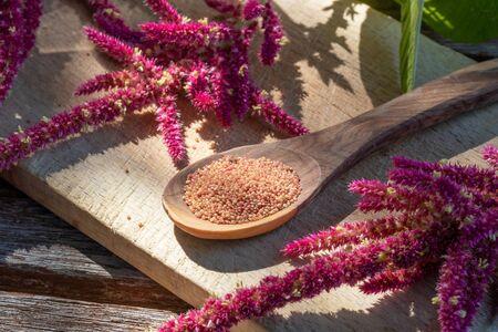 Amaranthus caudatus seeds and flowers