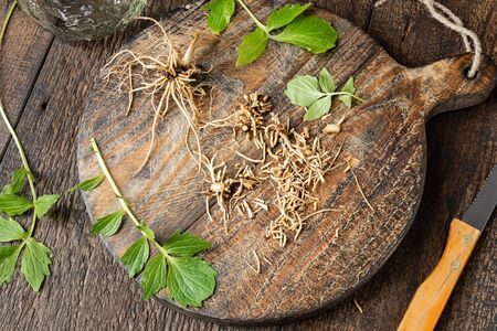 Cutting up fresh valerian roots to prepare herbal tincture Zdjęcie Seryjne
