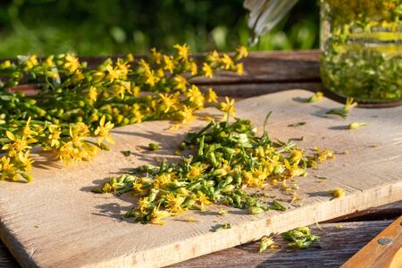 Preparation of homemade tincture from blooming European goldenrod, or Solidago virgaurea plant Stock fotó