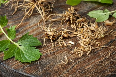 Cut up valerian roots on a wooden table - preparation of herbal tincture