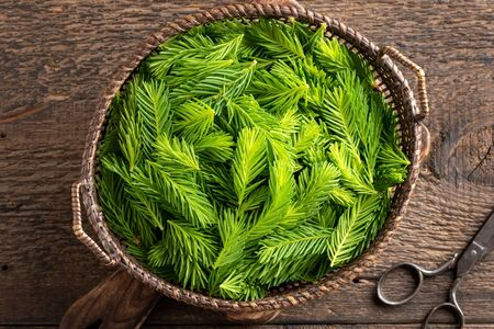 Young spruce tips in a basket, collected in spring to prepare herbal syrup, top view