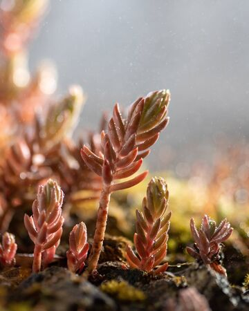 Close up of a fresh sedum plant