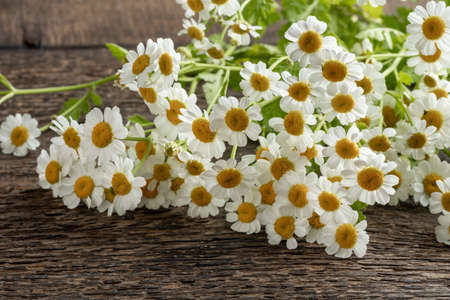 Fresh blooming feverfew or Tanacetum parthenium plant on a table