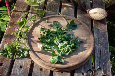 Preparation of mallow syrup from fresh Malva neglecta plant, outdoors