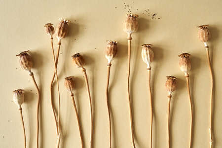 Poppy heads or pods with seeds on beige background Stock Photo