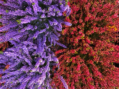 Flowering very beautiful red and violett purple blue heather calluna vulgaris ericaceae on a background the bark of trees balcony plant