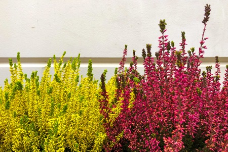 Flowering very beautiful red and yellow heather calluna vulgaris ericaceae on a background the bark of trees balcony plant Stock Photo