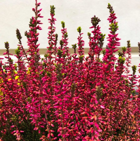 Flowering very beautiful red heather calluna vulgaris ericaceae on a background the bark of trees balcony plant