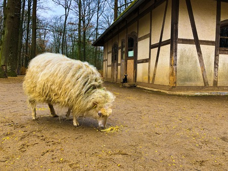 old white Sheep Close-up with long thick yellow fur hair at the nature. fair animal wellfare at the Zoo Wild Park eating