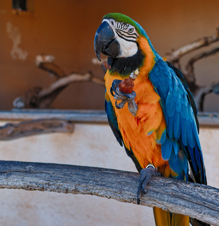 Macaw (parrot) feeding, cala millor nature park, mallorca, spain.