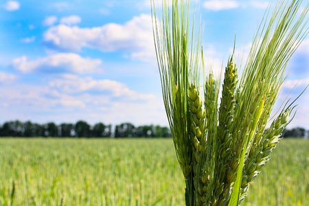 Bundle of wheat on the blue sky and green field Banco de Imagens