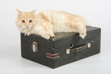 reproducing: The cat lies on the old gramophone, a mechanical device for playing phonograph records, isolated on a white background