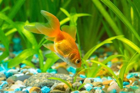 aquarium hobby: View of a goldfish in a home freshwater aquarium
