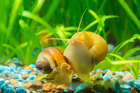 freshwater aquarium: View of the two snails Ampularia a home freshwater aquarium Stock Photo