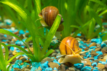 freshwater snails: View of the two snails Ampularia a home freshwater aquarium Stock Photo