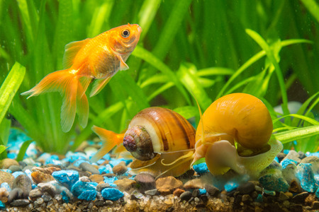 freshwater snails: View goldfish and two snails Ampularia a home freshwater aquarium