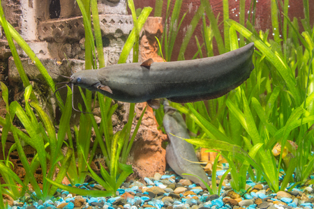 freshwater aquarium plants: View Stinging catfish at the bottom of a freshwater aquarium in your home Stock Photo