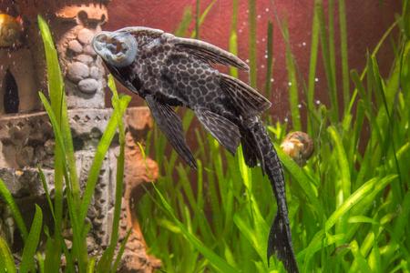 bullhead: Fish Ancistrus Ancistrus dolichopterus in a home freshwater aquarium Stock Photo