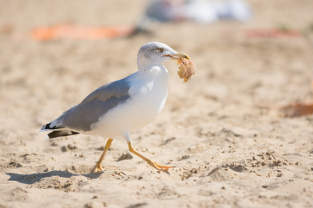 ridibundus: Seagull on the beach seaside dragged a piece of bread rolls from the bag of food with holidaymakers