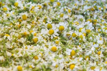 herbolaria: The harvested flowers of chamomile drug, closeup