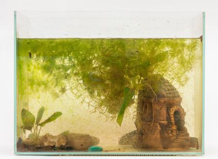 aquarist: Overgrown algae aquarium on a white background Stock Photo