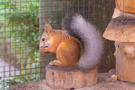 Squirrel gnaws nuts sitting on a stump in an enclosure