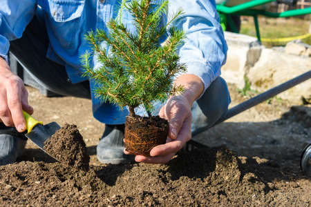 A man plants a conic spruce seedling in the soil