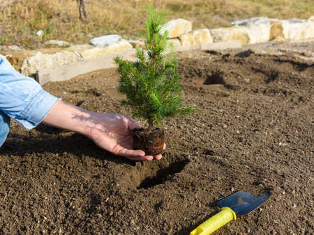Hand plants in the hole plants a fir-tree seedling in the soil