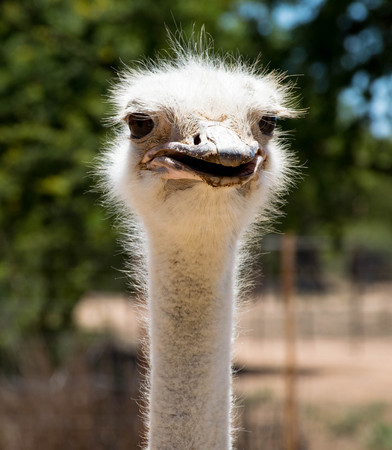 Long necked beauty: This Ostrich was showing off its feathery form for its visitors Stockfoto