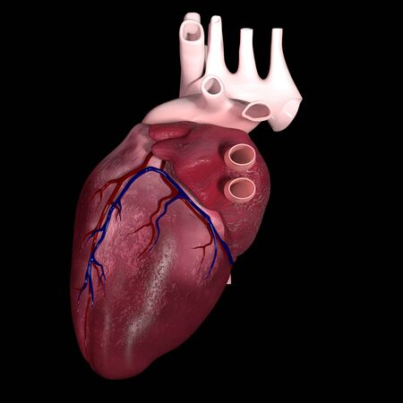 This is a 3d illustration of The Human Heart in side view