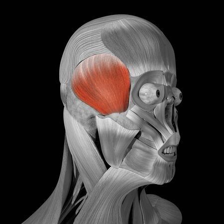 This is a 3d illustration of The temporoparietalis muscles Stockfoto