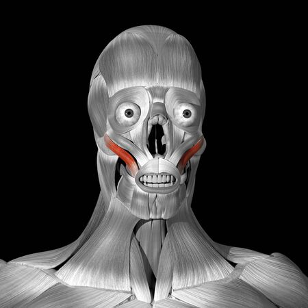 This is a 3d illustration of the zigomaticus major muscles