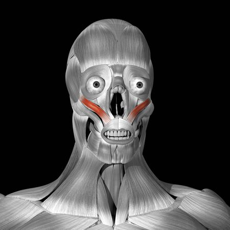 This is a 3d illustration of the zigomaticus minor muscles