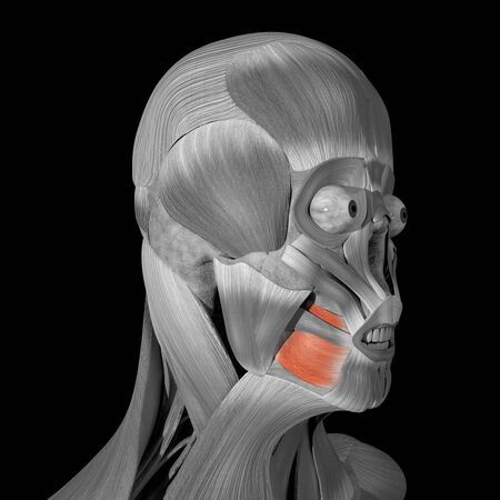This is a 3d illustration of The Buccinator muscles Stockfoto
