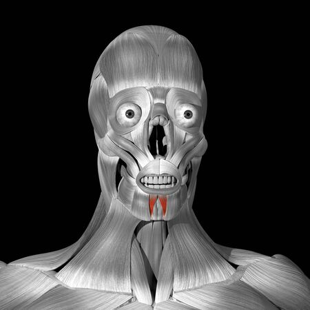 This is a 3d illustration of the depressor labii inferioris muscles