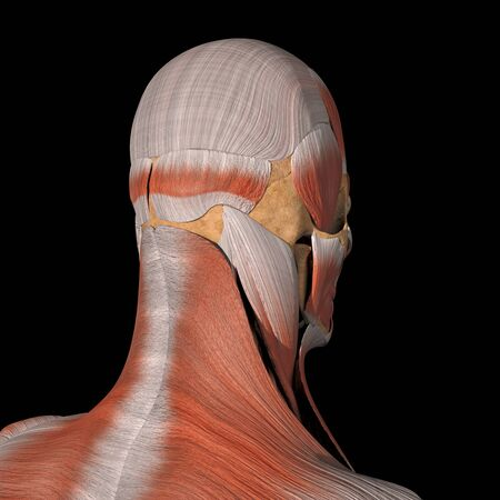 This is a 3d illustration of the facial muscles back view